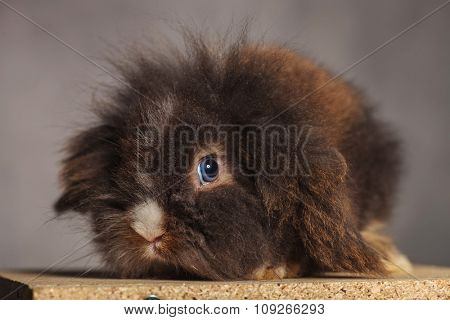 Picture of a cute lion head rabbit bunny sitting on a wood box while looking at the camera.