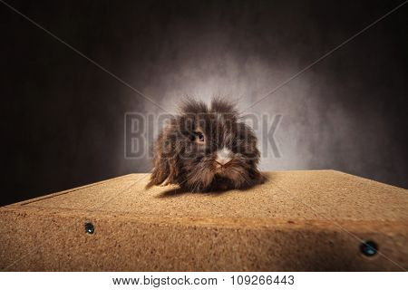 Small lion head rabbit bunny sitting on a wood box while looking at the camera.