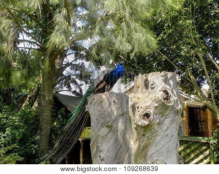 Peacock on a tree stump