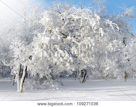Winter Scenery, Frosty Trees