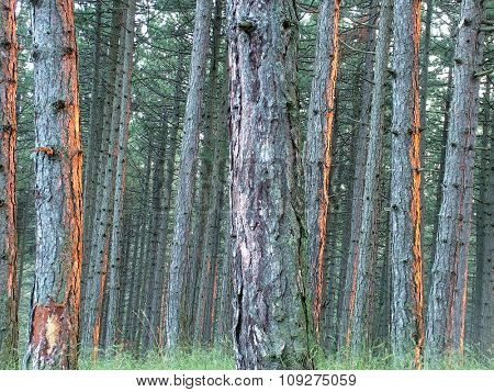 Dense pine wood on the sunset light. Endemic pine tree
