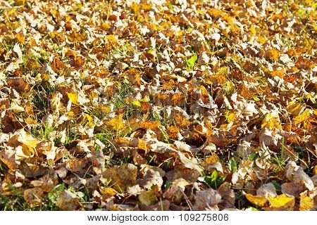 Fallen Yellow Leaves