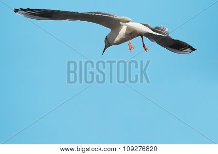 Flying seagull and blue sky. Seagull with open wings above clean sky