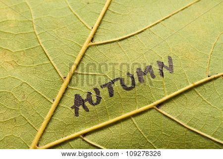 closeup macro shot of maple leaf texture