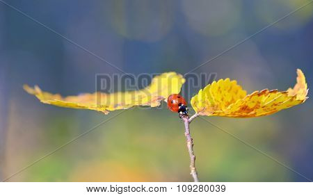 Ladybug On Leaf In Autumn Time