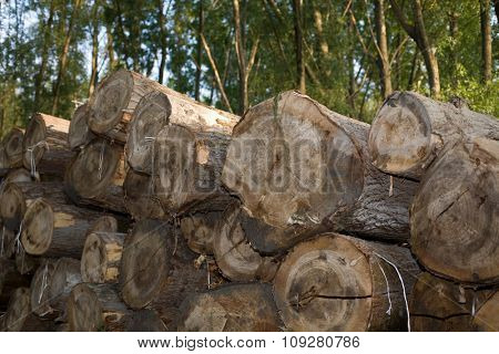 Tree trunks pile in forest ready for transport. Environment damage concept