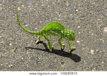 Green chameleon on asphalt road