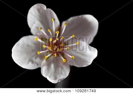 Cherry blossom isolated and focus on stamen. Floral design element