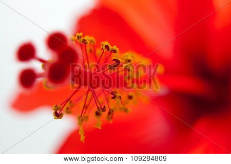 Red Hibiscus, Macro