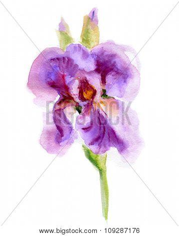 Purple Iris Flowers.  Watercolor hand painted illustration
