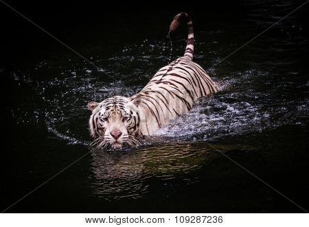 Picture of a white tiger walking in water