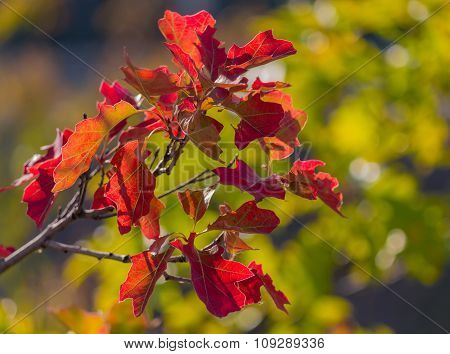 Red Autumn Leaves Closeup