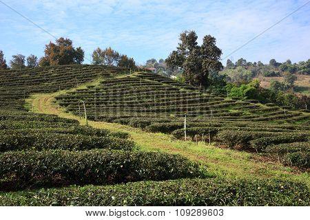 Tea Plantation In Mae Salong, Northen Thailand.