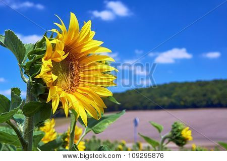 Sunflower flower on a sunny day