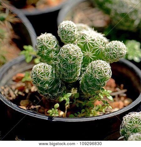 Small Cactus.