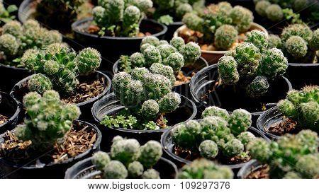 Groups Of Green Cactus Budding.