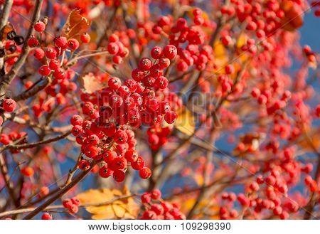 Red Autumn Rowan