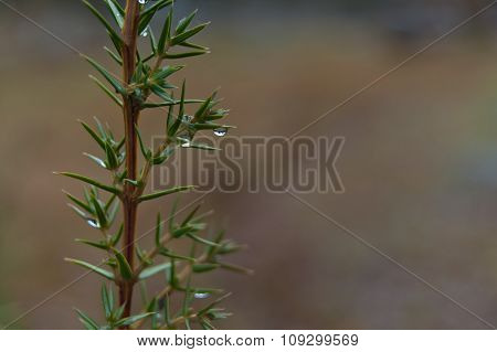 Evergreen fir background