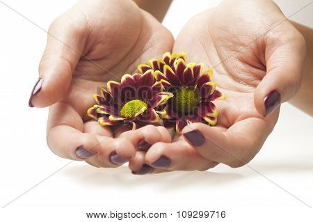 Female hands and flowers on white background