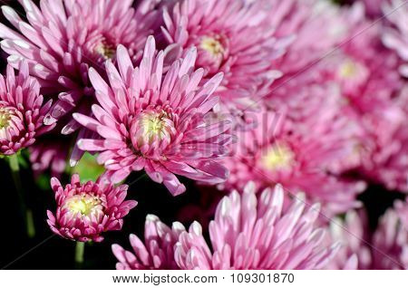 Pink Chrysanthemum (dendranthemum Grandifflora) In Closed-up.