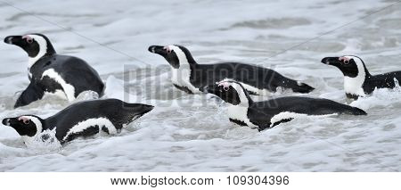 African Penguins. African Penguins (spheniscus Demersus), Also Known As The Jackass Penguin And Blac