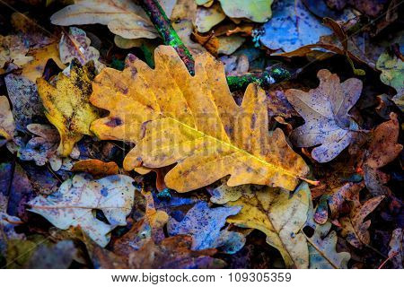 Dry autumn oak leafage - abstract natural background