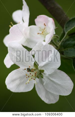 Apple-tree flowers on a green background.