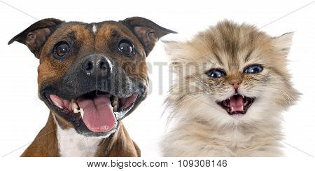 Stafforshire Bull Terrier And Persian Kitten