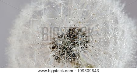 Dandelion With Water Drops (abstract Backdrop)
