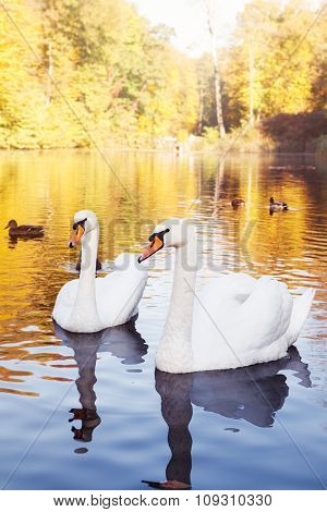 Pair Of White Swans On The Lake