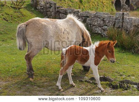 Mother and Foal Dartmoor Ponies (Equus ferus caballus