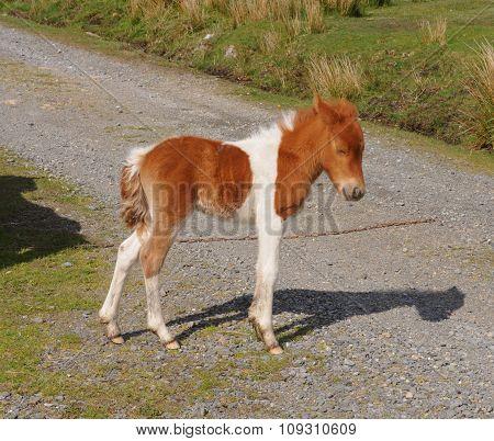 Dartmoor Pony Foal (Equus ferus caballus)