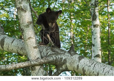 Black Bear Cub (ursus Americanus) Makes Turn To Climb Down Tree