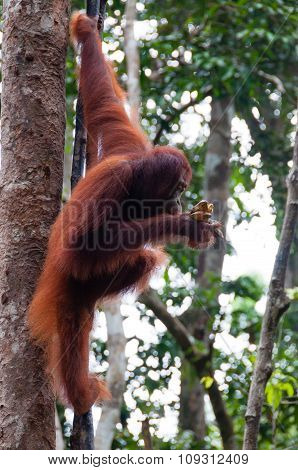 Orang Utan sitting on a tree in jungle