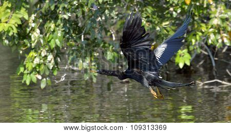 Flying Anhinga Bird, Commonly Known As The Snakebird,