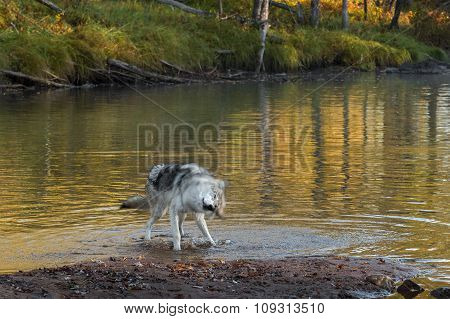 Grey Wolf (canis Lupus) Shakes Off