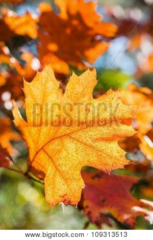 Autumn Red Oak Leaf