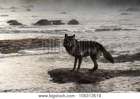 Grey Wolf (canis Lupus) Stands On Rock In Misty River