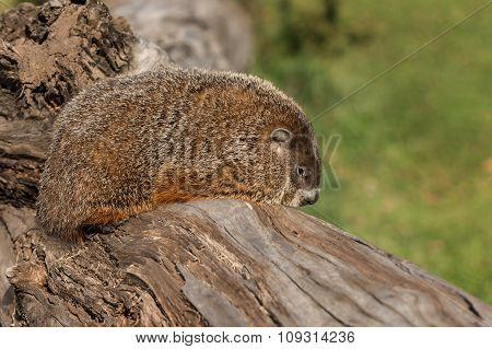 Woodchuck (marmota Monax) Facing Right On Log