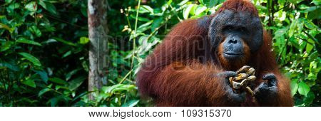 Orang Utan alpha male with banana in Borneo Indonesia