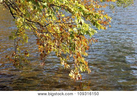 Autumnal Branches Of Beech At Lakeside