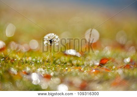 dandelion on field in autumn morning