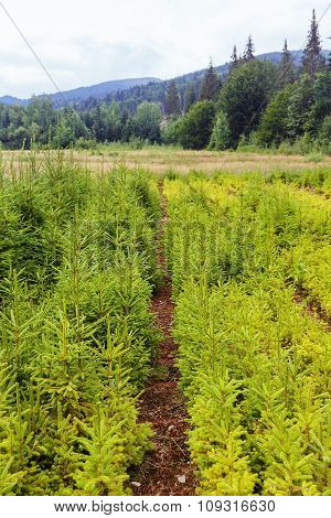 Spruce Plantation