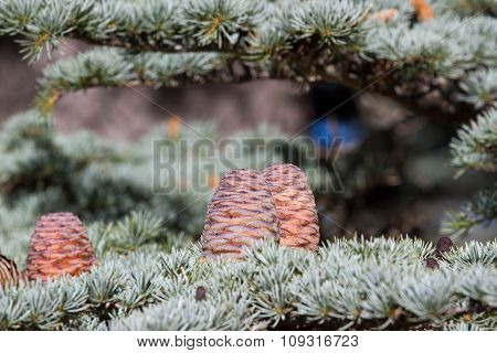 Lebanese cedar pinecone in the forest in mountains, Turkey
