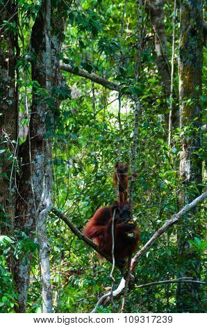 Mother Orang Utan and baby sitting on a tree in the jungle, Indonesia