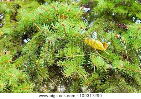 Soft Image Of A Green Fir Branches With Needles Closeup