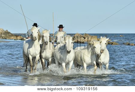 White Horses Of Camargue Running Through Water.