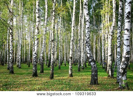 Evening Autumn Birch Forest In Sunlight