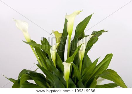 Calla lilies on gray background