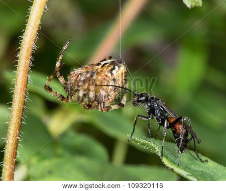 Spider-hunting wasp, Priocnemis exaltata, with spider prey